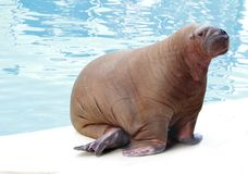 Walrus in water Royalty Free Stock Photo