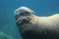 Walrus in water Stock Photos