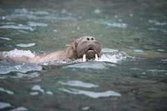 Walrus in the water stock photos