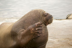 Walrus is waving Royalty Free Stock Photography