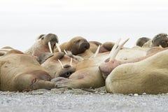 Walruses спать Стоковая Фотография RF