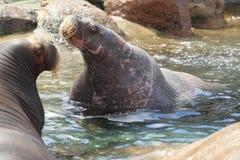 walruses Royaltyfria Bilder
