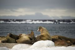 Walruses with giant tusks at Arctic haul-out Royalty Free Stock Image
