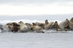 Walruses heading for the sea. Stock Images