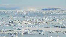 Walruses on ice flow stock video