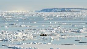 Walruses on ice flow stock footage