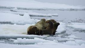 Walruses on ice flow stock video footage