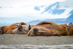Walruses lying on the shore in Svalbard, Norway Royalty Free Stock Image