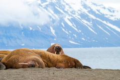 Walruses lying on the shore in Svalbard, Norway Royalty Free Stock Images