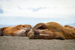 Walruses lying on the shore in Svalbard, Norway Royalty Free Stock Photos