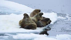 Walruses na lodu przepływie zbiory