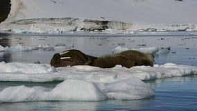 Walruses na lodu przepływie zbiory wideo