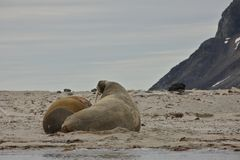 Walruses in Svalbard. The walrus is a large flippered marine mammal with a discontinuous distribution about the North Pole in the Arctic Ocean and subarctic seas Stock Photo