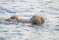 Walruses swimming in the sea Stock Photo