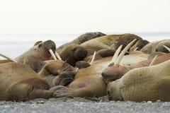 Walruses van de slaap Royalty-vrije Stock Foto's