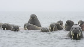 Walruses in the water stock footage