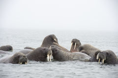 Walruses in the water Stock Photos