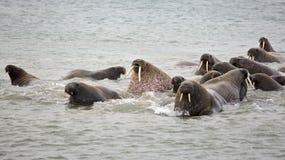Walrusfamilie in het overzees Royalty-vrije Stock Afbeeldingen