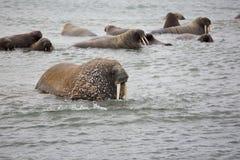 Walrusfamilie in het overzees Royalty-vrije Stock Foto