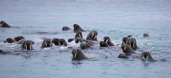 Walrusfamilie in het overzees Stock Fotografie