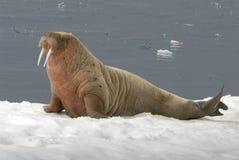 Walrussen Stock Afbeelding