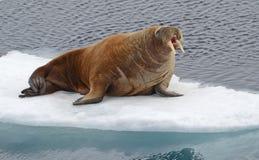 Walrussen stock foto