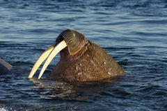 Walrussen Royalty-vrije Stock Foto