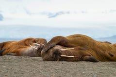Walrussen die op de kust in Svalbard, Noorwegen liggen Stock Afbeeldingen