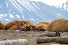 Walrussen die op de kust in Svalbard, Noorwegen liggen Stock Foto