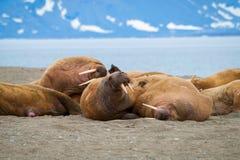 Walrussen die op de kust in Svalbard, Noorwegen liggen Royalty-vrije Stock Afbeeldingen