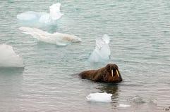 Walrussen die uit het Overzees te voorschijn komen Stock Foto