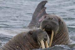 Walrussen in een water in Svalbard royalty-vrije stock afbeelding