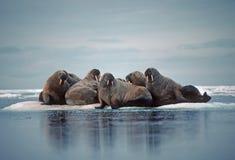 Walrussen in het Canadese Noordpoolgebied Stock Fotografie