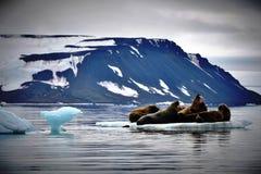 Walrussen op Ijs stock foto's
