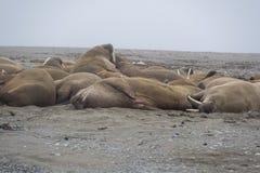 Walrussen in Svalbard - Noorwegen, Arctica royalty-vrije stock fotografie