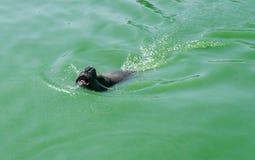 Walrusvlotters in de vijver, safaripark Fasano Apulia Italië stock foto's