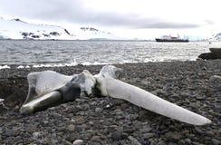 Walschädel, der auf dem Strand von König George liegt Stockfotografie