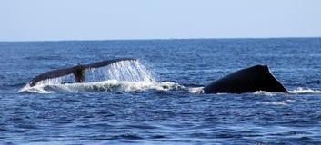Walvis bij Los Cabos Mexico uitstekende mening van familie van walvissen bij vreedzame oceaan royalty-vrije stock afbeeldingen