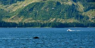Walvis die op Alaska let Stock Afbeeldingen