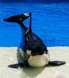 Walvis in een pool Stock Fotografie