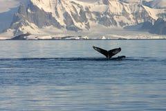 Walvis en ijzig landschap Stock Afbeelding