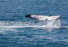 Walvis Hervey Bay Australia royalty-vrije stock foto