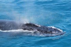 Walvis het blazen Stock Foto's