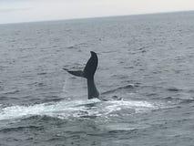Walvis het Letten op Royalty-vrije Stock Foto's