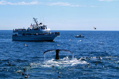 Walvis het Letten op Royalty-vrije Stock Fotografie