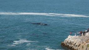 Walvis het letten op in Hermanus stock foto