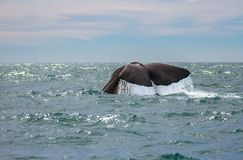 Walvis het letten op in Kaikoura Nieuw Zeeland stock fotografie