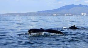 Walvis het letten op in Puerto Vallarta Royalty-vrije Stock Foto's