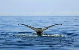 Walvis het letten op in Puerto Vallarta stock foto