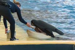 Walvis van de Zookeeper de voedende orka en het behandelen van reusachtige honger royalty-vrije stock foto's